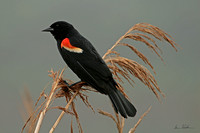 Red Winged Blackbird, Cape Cod